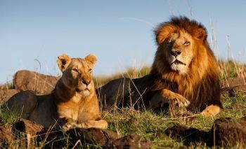 Karma? Poachers Eaten by Lions After Breaking Into Game Reserve to Kill Endangered Rhinos