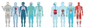 Your Body's Systems