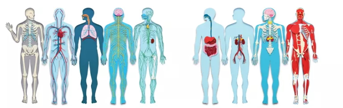 Read more about the article Your Body's Systems